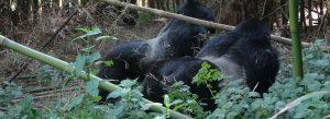 Mgahinga Gorilla