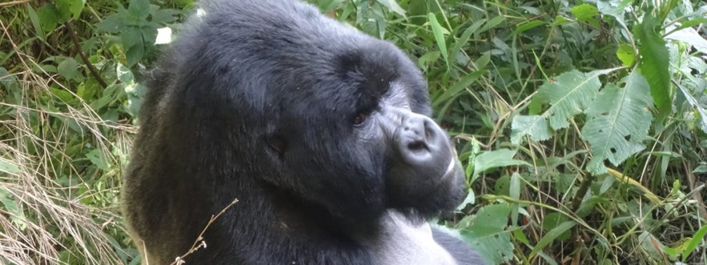 Mgahinga Silverback Gorilla
