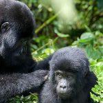 Mgahinga Gorilla Trekking